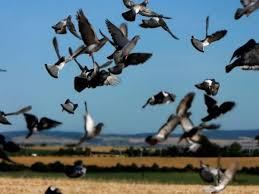 Storni e colombi